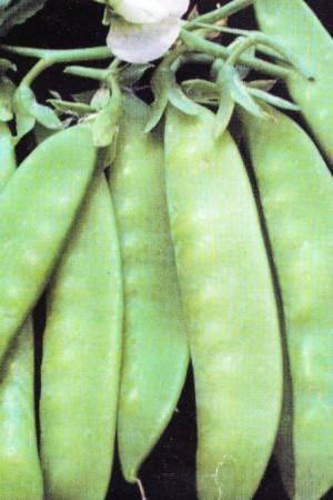Semences potagères : Pois mangetout 40 jours