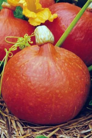 Semences potagères : Potimarron  Uchiki kuri BIO