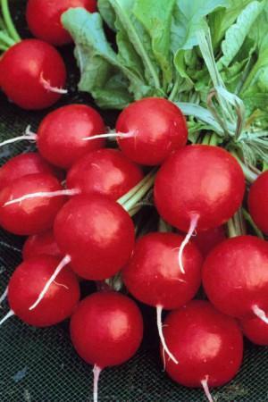 Semences potagères : Radis Rond rouge écarlate