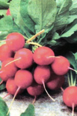 Semences potagères : Radis Saxa
