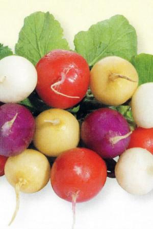 Semences potagères : Radis Multicolore