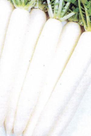 Semences potagères : Radis Minowase