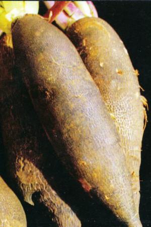 Semences potagères : Radis Noir long Ramonace