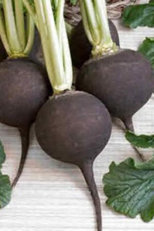 Semences potagères : Radis Noir rond Ramonace