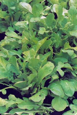 Semences potagères : Roquette Cultivée