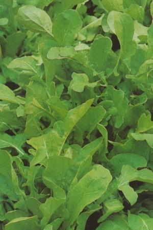 Semences potagères : Roquette Cultivée BIO
