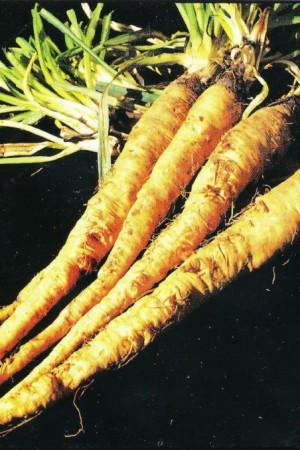 Semences potagères : Salsifis blanc