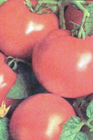 Semences potagères : Tomate Moneymaker