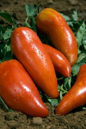 Semences potagères : Tomate Andine cornue