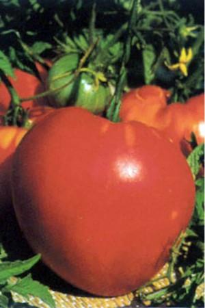Semences potagères : Tomate Cœur de bœuf