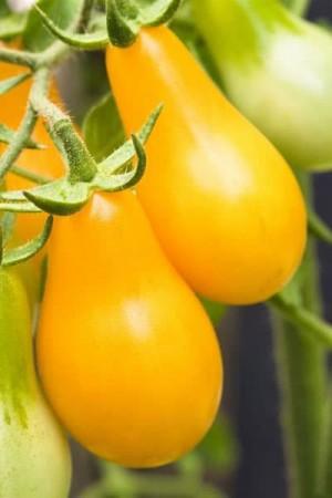 Semences potagères : Tomate Yellow Pearshaped