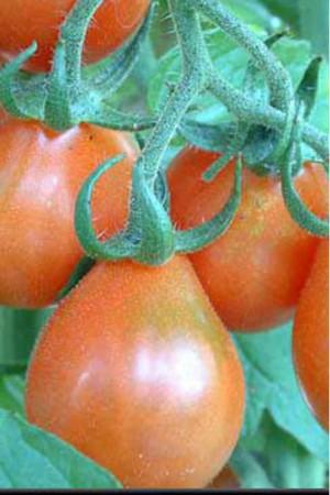 Semences potagères : Tomate Poire rouge BIO
