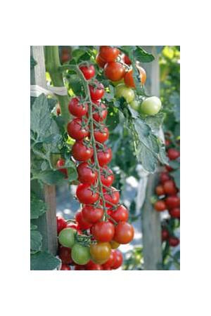 Semences potagères : Tomate Minoprio F1