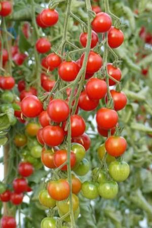 Semences potagères : Tomate Sweet 100 F1