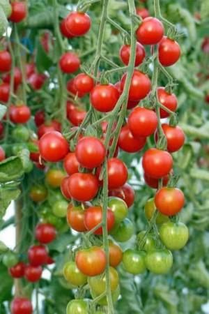 Semences potagères : Tomate Cerise BIO