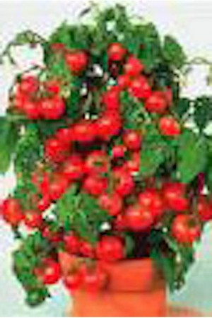 Semences potagères : Tomate Maja