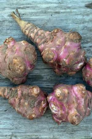Semences potagères : Topinambour Rouge