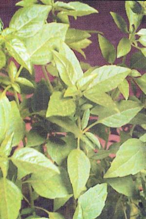 Semences condimentaires : Basilic Grand vert