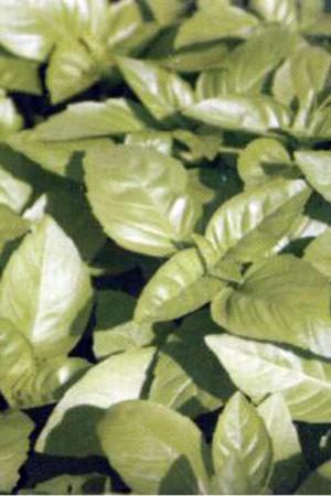 Semences condimentaires : Basilic Marseillais