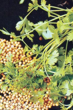 Semences condimentaires : Coriandre A grosse graine