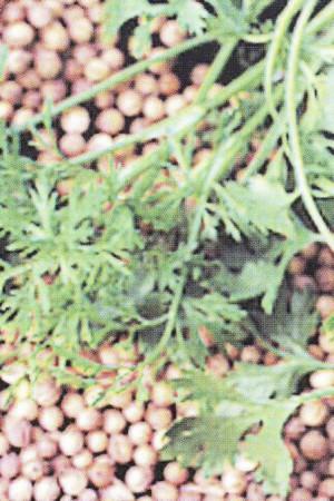 Semences condimentaires : Coriandre Marino BIO