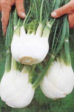 Semences condimentaires : Fenouil de Florence