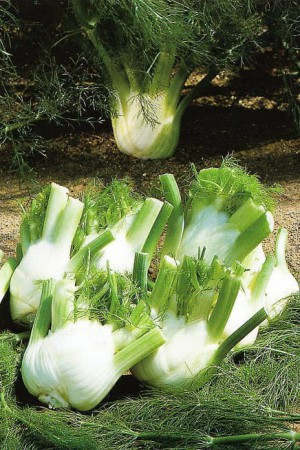 Semences condimentaires : Fenouil Fino BIO