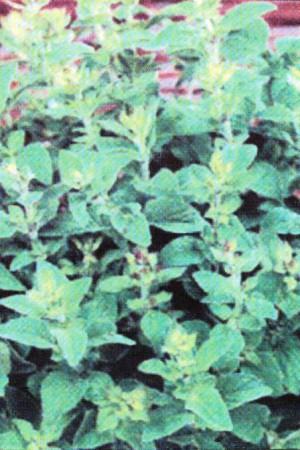 Semences condimentaires : Marjolaine Annuelle