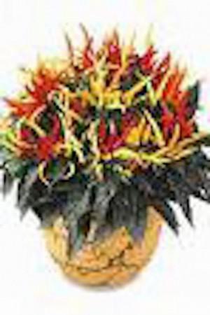 Semences condimentaires : Poivron Nain