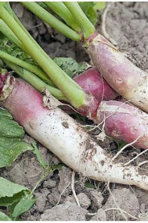Semences condimentaires : Raifort Amélioré