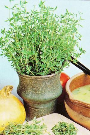 Semences condimentaires : Thym d'hiver