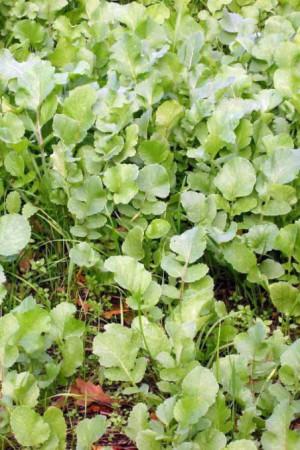 Engrais verts - Fourragères - Gazons  : Engrais verts Radis fourrager