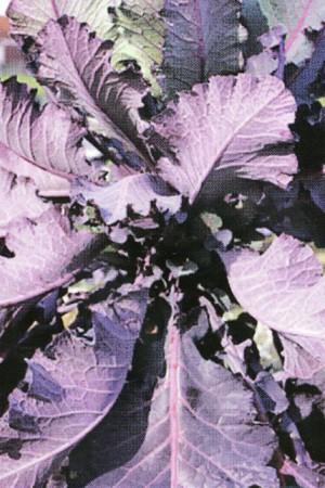 Engrais verts - Fourragères - Gazons  : Fourragères Chou Cavalier rouge