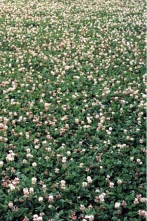 Engrais verts - Fourragères - Gazons  : Fourragères Trèfle blanc