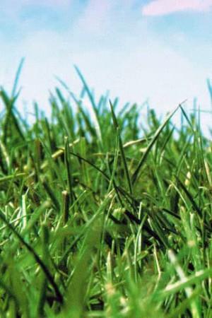 Engrais verts - Fourragères - Gazons  : Gazon - prairie Gazon sport