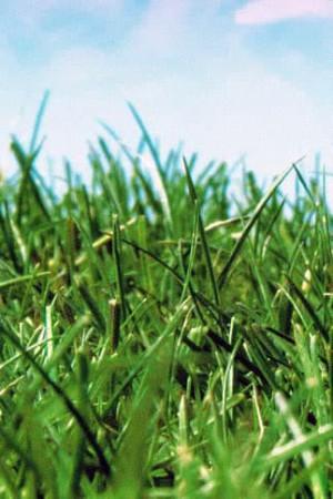 Engrais verts - Fourragères - Gazons  : Gazon - prairie Gazon de luxe