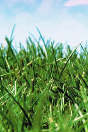 Engrais verts - Fourragères - Gazons  : Gazon - prairie Gazon rapide