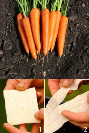 Rubans à semer : Carotte Valor F1