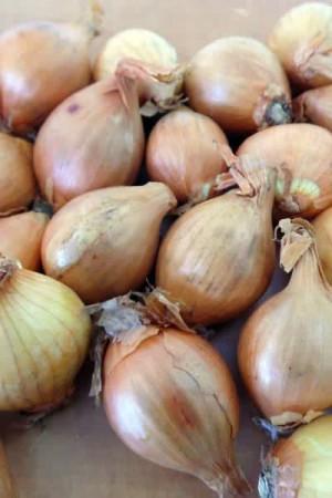 Ail - Echalote - Oignon : Echalote  Golden Gourmet