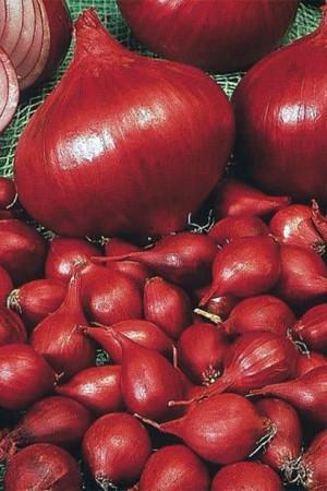Ail - Echalote - Oignon : Oignon Red Comred