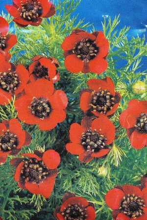 Semences de fleurs : Adonite Goutte de sang