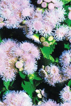Semences de fleurs : Agératum Blue Mink