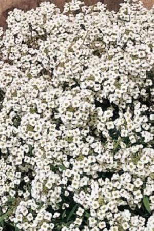 Semences de fleurs : Alysse Corbeille d'Argent