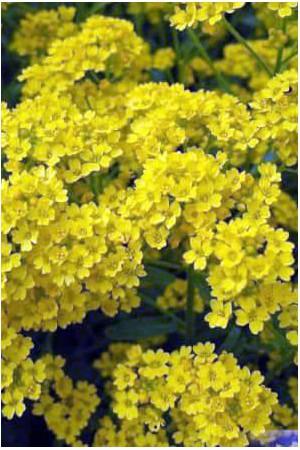 Semences de fleurs : Alysse Corbeille d'or