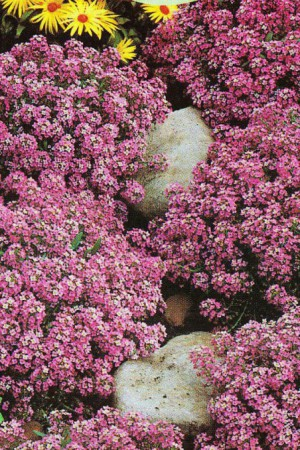 Semences de fleurs : Alysse Rosie O'Day
