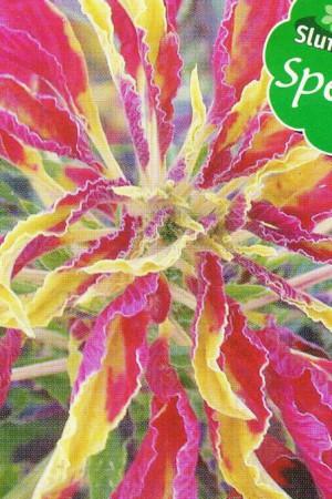 Semences de fleurs : Amarante Tricolor Garden Select