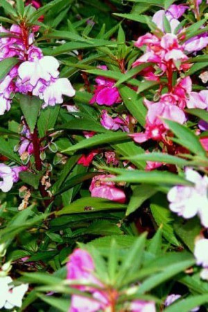 Semences de fleurs : Balsamine A fleur de camélia