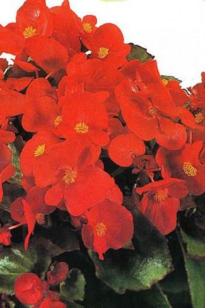 Semences de fleurs : Bégonia Red Comet F1