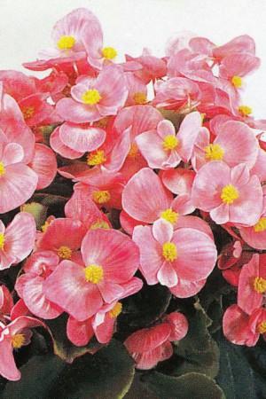 Semences de fleurs : Bégonia Pink Comet F1