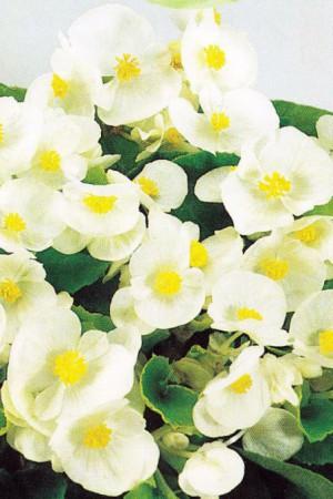Semences de fleurs : Bégonia White Comet F1